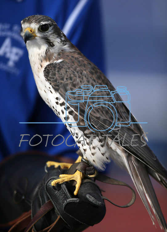 An Air Force cadet holds a falcon on the sideslines of an NCAA football game between Air Force and Nevada, in Reno, Nev., on Saturday, Sept. 28, 2013. <br /> Photo by Cathleen Allison