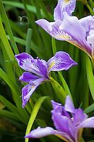 Blue flower Iris douglasii in drought tolerant California native plant garden