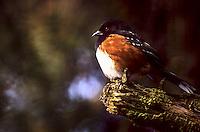 Rufous-sided Towhee, Reifel Migratory Bird Sanctuary, B.C. Canada.