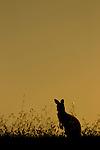 Eastern Grey Kangaroo (Macropus giganteus) juvenile at sunset, Mount Taylor Nature Reserve, Canberra, Australian Capital Territory, Australia