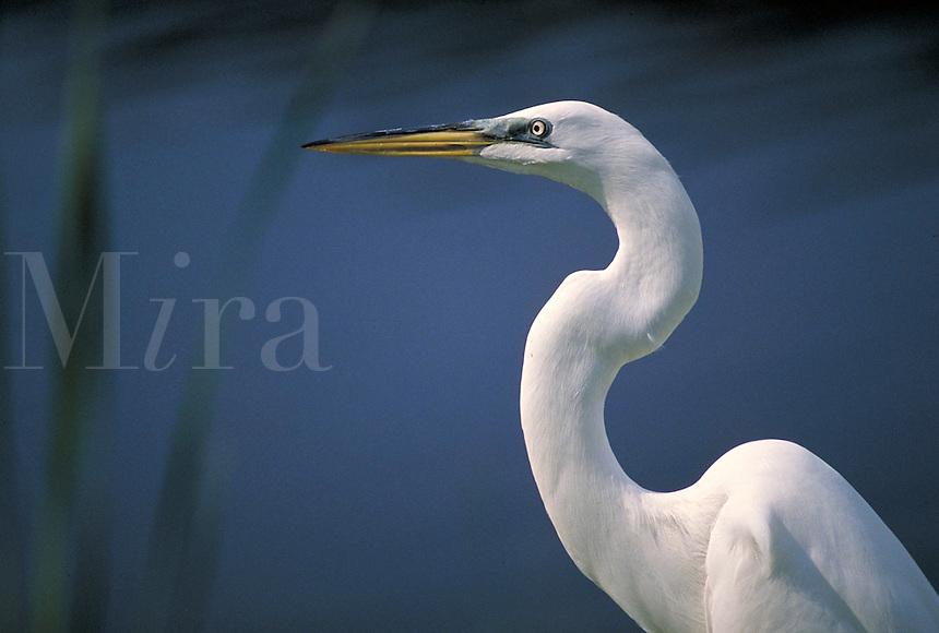 Common, American or Great egret (Casmerodius albus), Florida. North Port Florida, Bird Island.