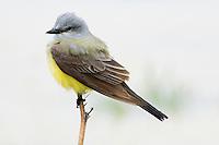 A Western Kingbird surveys a wetland in Jefferon County, Montana.