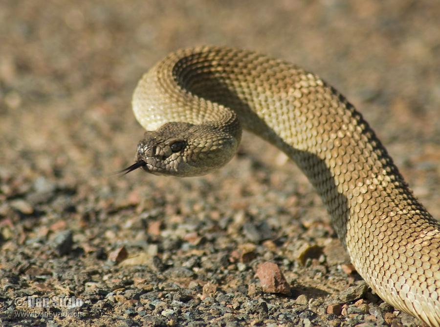 Northern Pacific rattlesnake, Crotalus viridis oreganus, in defensive posture.  Mount Diablo State Park, California