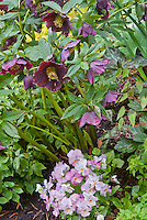 Viola Gem 'Pink Antique' and purple Helleborus Brandywine Hellebore, Trillium, Anemonella, Epimedium Violet Princess