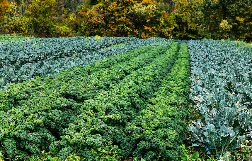 Field of kale ready for autumn harvest.