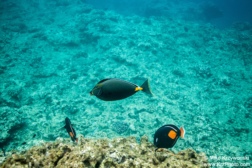 Orangespine Unicornfish with 2 Achilles Tang, Shark's Cove, Oahu
