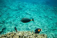 Orangespine Unicornfish with 2 Achilles Tang, Shark's Cove, Oahu
