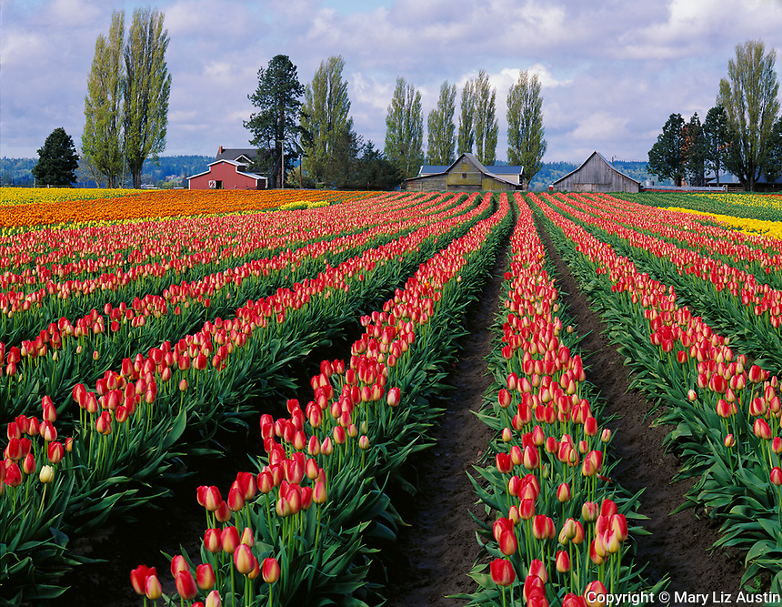 Skagit County, WA               <br /> Rows of vibrant two toned red and yellow tulips with weathered barns under spring morning skies - &quot;Courtesy of Tulip Town&quot;