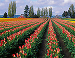 "Skagit County, WA               <br /> Rows of vibrant two toned red and yellow tulips with weathered barns under spring morning skies - ""Courtesy of Tulip Town"""