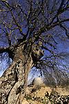 Israel, Upper Galilee, Atlantic Pistachio tree at Nabi Yusha