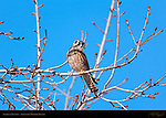 American Kestrel Juvenile molting to Female, Sepulveda Wildlife Refuge, Southern California