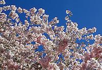 Bloesem. Japanse Sierkers in bloei
