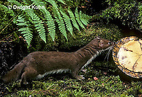 MA28-114z  Short-Tailed Weasel - ermine in brown summer coat trying to eat turtle - Mustela erminea