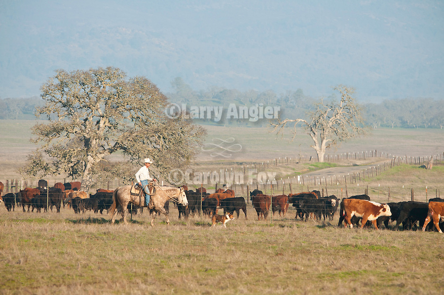 Calf marking and branding, Wooster Ranch, Salt Spring Valley, Calif.