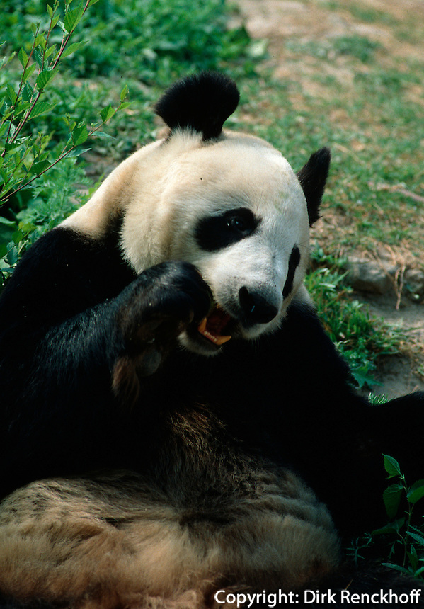 China, Peking, Panda-Bär im Zoo
