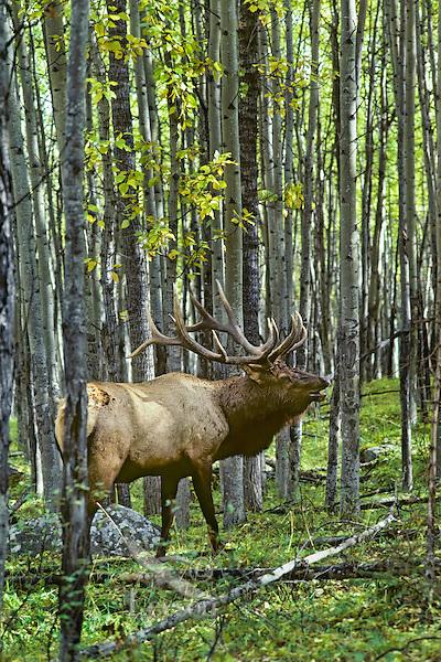 Rocky Mountain Bull elk bugling in aspen forest, September, Northern Rockies.