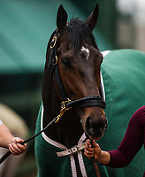 BALTIMORE , MD - MAY 16:  Bravazo cools out after completing preparation for the Preakness Stakes at Pimlico Racecourse on May 16, 2018 in Baltimore, Maryland. (Photo by Alex Evers/Eclipse Sportswire/Getty Images)