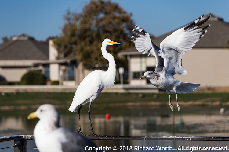 With its wings spread wide and its feet dangling below, a gull comes in for a landing, joinng other gulls and a Great egret, at an urban, neighborhood park along San Francisco Bay.