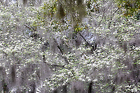 Dogwood tree, Cornus florida and spanish moss, Charleston, South Carolina