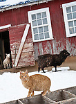 Tabby cat and sheep in front of fading red barn in winter snow