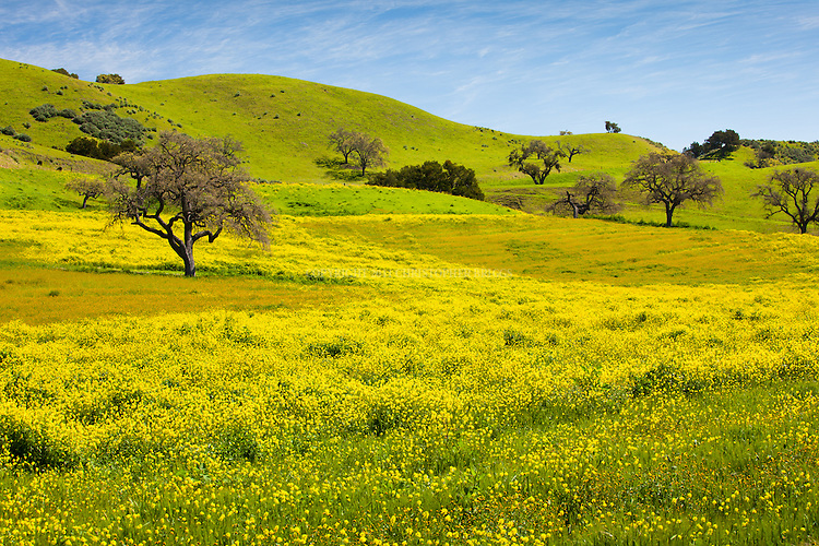 Wild Mustard and oak trees among rolling hills covered in spring green. Santa Ynez Valley, Santa Barbara County, CA.
