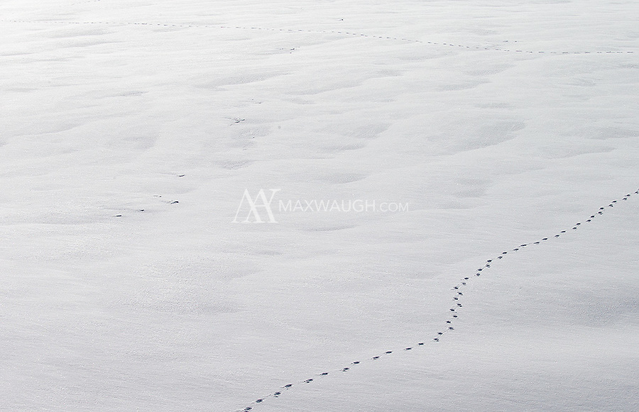 Coyote tracks meander in Cascade Meadows.