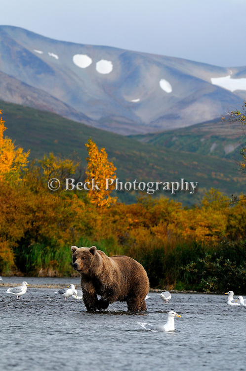 A large adult grizzly bear, Ursus arctos horribilis, wades the shores of the river in Alaska in the fall in search of food.