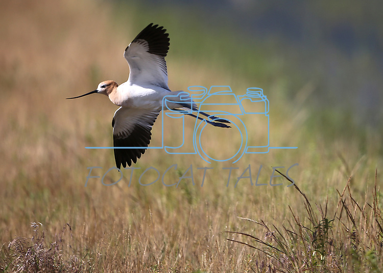 An American Avocet flies along Washoe Lake, north of Carson City, Nev. on Wednesday, June 7, 2017. <br />Photo by Cathleen Allison/Nevada Photo Source