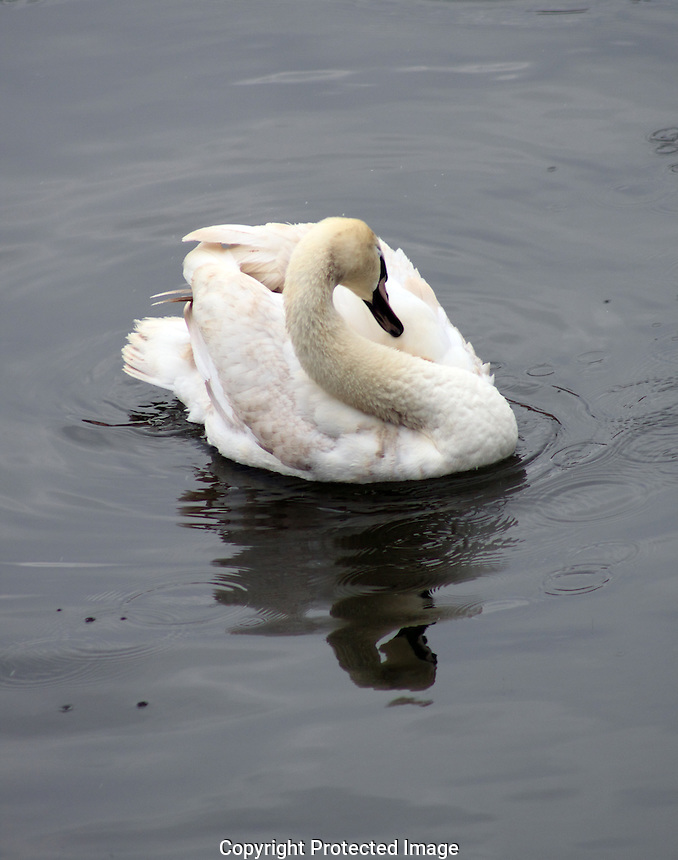 A single Swan relaxing on the river in the first spring.