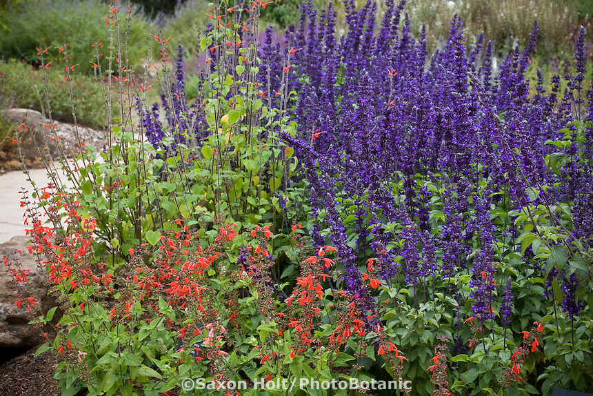Cabrillo College Salvia garden with red flower sage Salvia coccinea 'Lady in Red' and blue flower Salvia farinacea