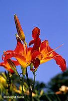 HD06-017x  Day Lily - Fire Storm -  Hemerocallis - Tetraploid lilies