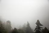 USA, California, Big Sur, Esalen, Large trees in the coastal fog