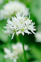 Flowers of Wild Garlic