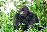 mountain gorilla, Gorilla beringei beringei, a subspecies of eastern gorilla, Gorilla beringei, critically endangered species, adult, male, Bwindi Impenetrable National Park, Bwindi Impenetrable Forest, Kanungu District, Western Region, Uganda, Africa