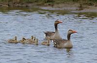 Graugans, Paar, Pärchen, Familie mit Küken, Grau-Gans, Gans, Anser anser, graylag goose, grey lag goose