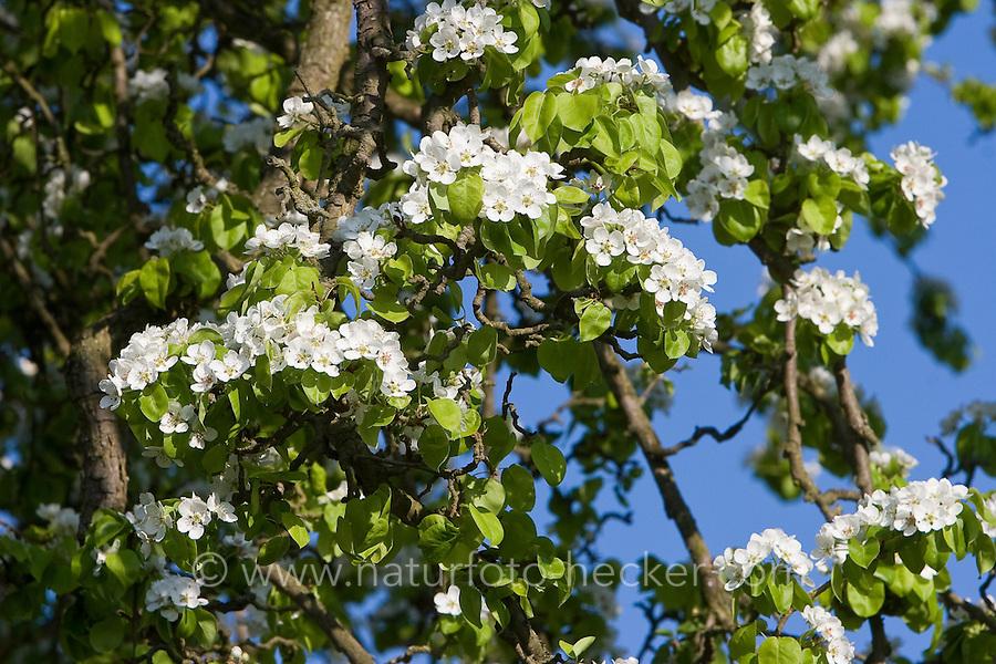 Birne, Birnbaum, Kultur-Birne, Garten-Birnbaum, Obstbaum, Pyrus communis, Common Pear, Poirier commun