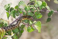 Vipernnatter, Vipern-Natter, Natter, Natrix maura, Viperine Snake, viperine water snake, viperine grass snake, Couleuvre vipérine, couleuvre mauresque