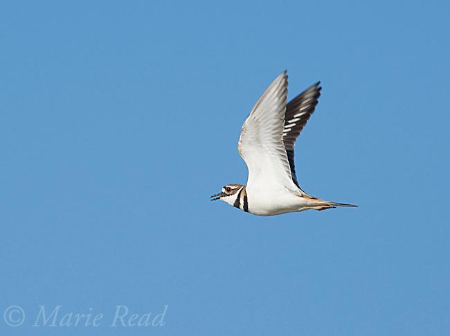 Killdeer (Charadrius vociferus) calling in flight, Bolsa Chica Ecological Reserve, California, USA