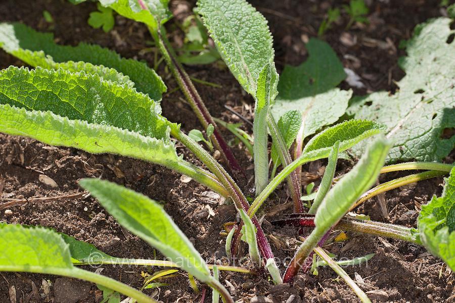 Schwarze Königskerze, Blätter vor der Blüte, Blattrosette, Verbascum nigrum, Dark Mullein, Bouillon noir, Molène noire