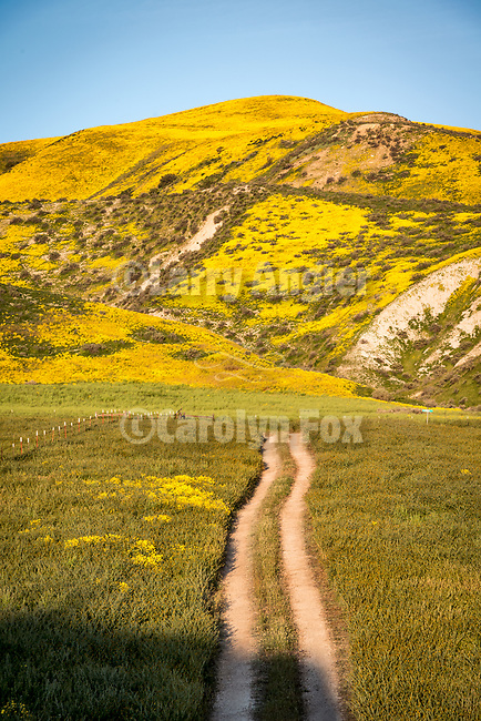 A dirt road through the golden wildflowers cover the Temblor Range in spring on the east side of California Valley, San Luis Obispo County, Calif.