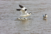 Pied avocet (Recurvirostra avosetta) defending breeding territory, by standing on the head of the rival and dunking them under for as long as they can, usually not more than a couple of seconds, Then chasing the intruder off. The Avocet colonised Britain when coastal marshes in East Anglia were flooded to provide a defence against possible invasion by the Germans.