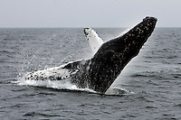 ANACAPA,CA - May 05, 2008: On the way back from a day trip on Anacapa Island, travelers are treated to a Humpback whale breaching, May 5, 2008.