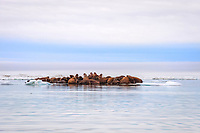 group of Pacific walruses, Odobenus rosmarus divergens, resting on an ice floe, Wrangel Island, Far Eastern Federal District, Russia, Arctic Ocean