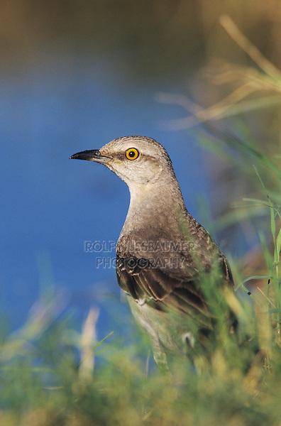 Northern Mockingbird, Mimus polyglottos,adult, Starr County, Rio Grande Valley, Texas, USA, March 2002