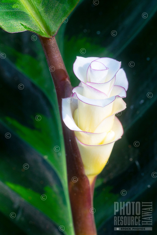 A close-up of a tropical white flower in a botanical garden, Island of Hawai'i.