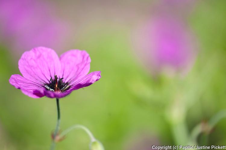 Magenta Geranium flower, Geranium psilostemon, Leeds Castle grounds, Kent UK