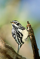 591350015 a wild black-and-white warbler mniolita varia perches in a mesquite tree on south padre island cameron county texas united states