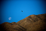 MEXICO, Baja, Magdalena Bay, Pacific Ocean, a frigate bird seen flying above the hills with the moon in the background