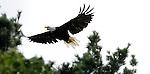 A bald eagle flies near the tree tops along the shoreline of the lowered McDill Pond in Stevens Point. (DOUG WOJCIK MEDIA)