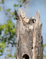 A female Northern Hawk Owl incubates her eggs in her nest in the broken top of a tree.